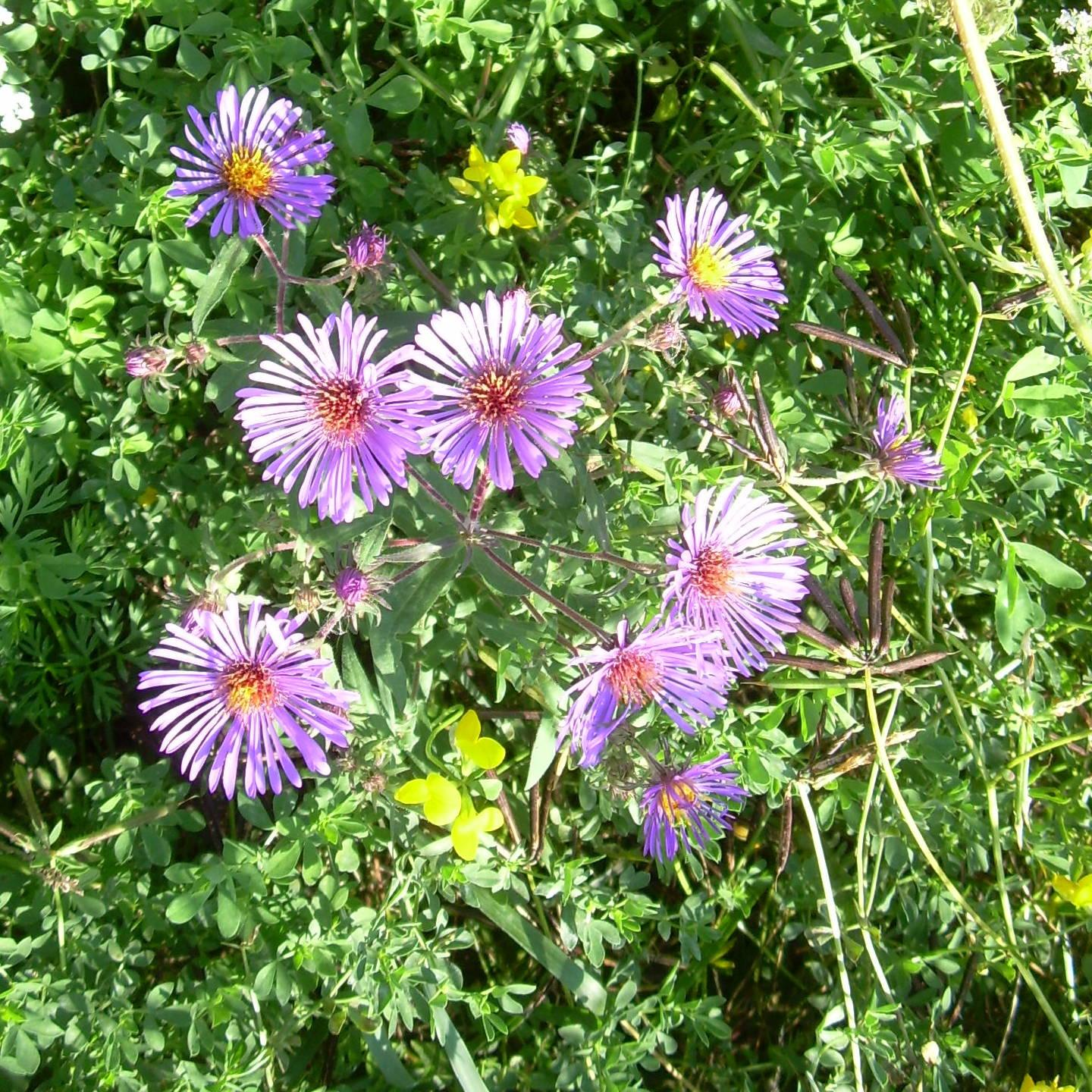New-England Aster