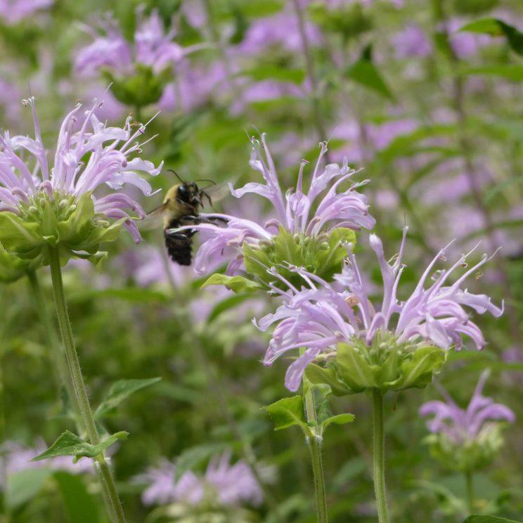 Wild Bergamot. Photo: Sharon Lovett