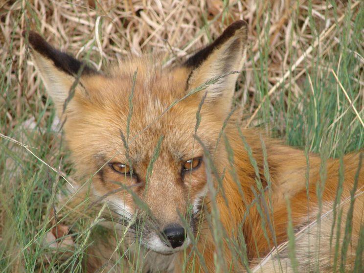 Red fox. Photo: Jon at Nature Centre