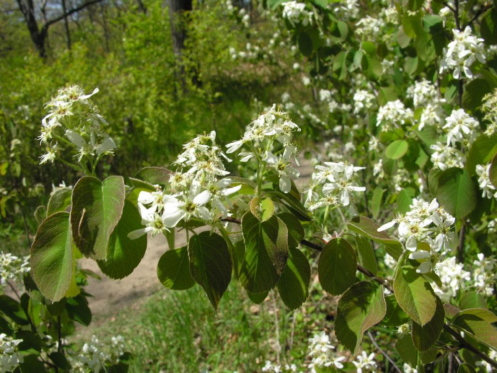 Running Serviceberry flowers. Photo: James Kamstra