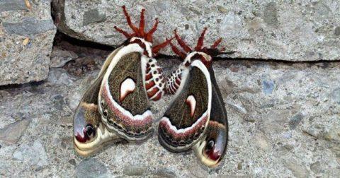 Cecropia Moth, Hyalophora cecropia. Photo: JM