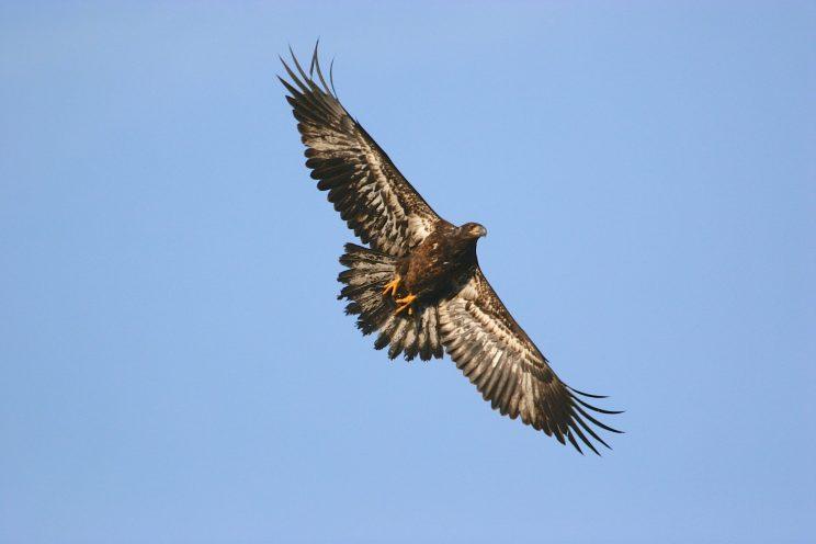Bald Eagle juvenile. Photo: Iain Fleming