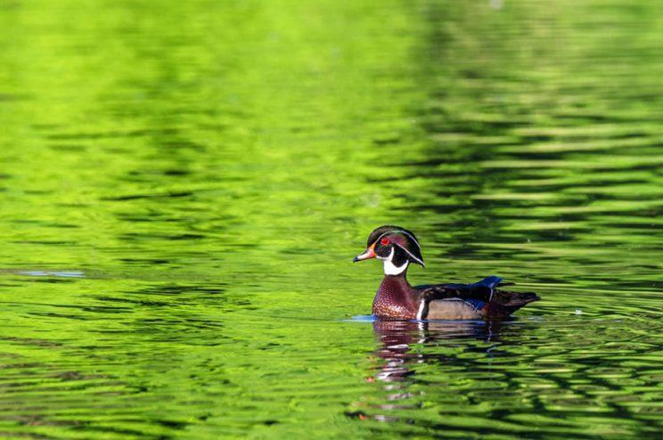 Wood Duck male. Photo: Miguel de la Bastide