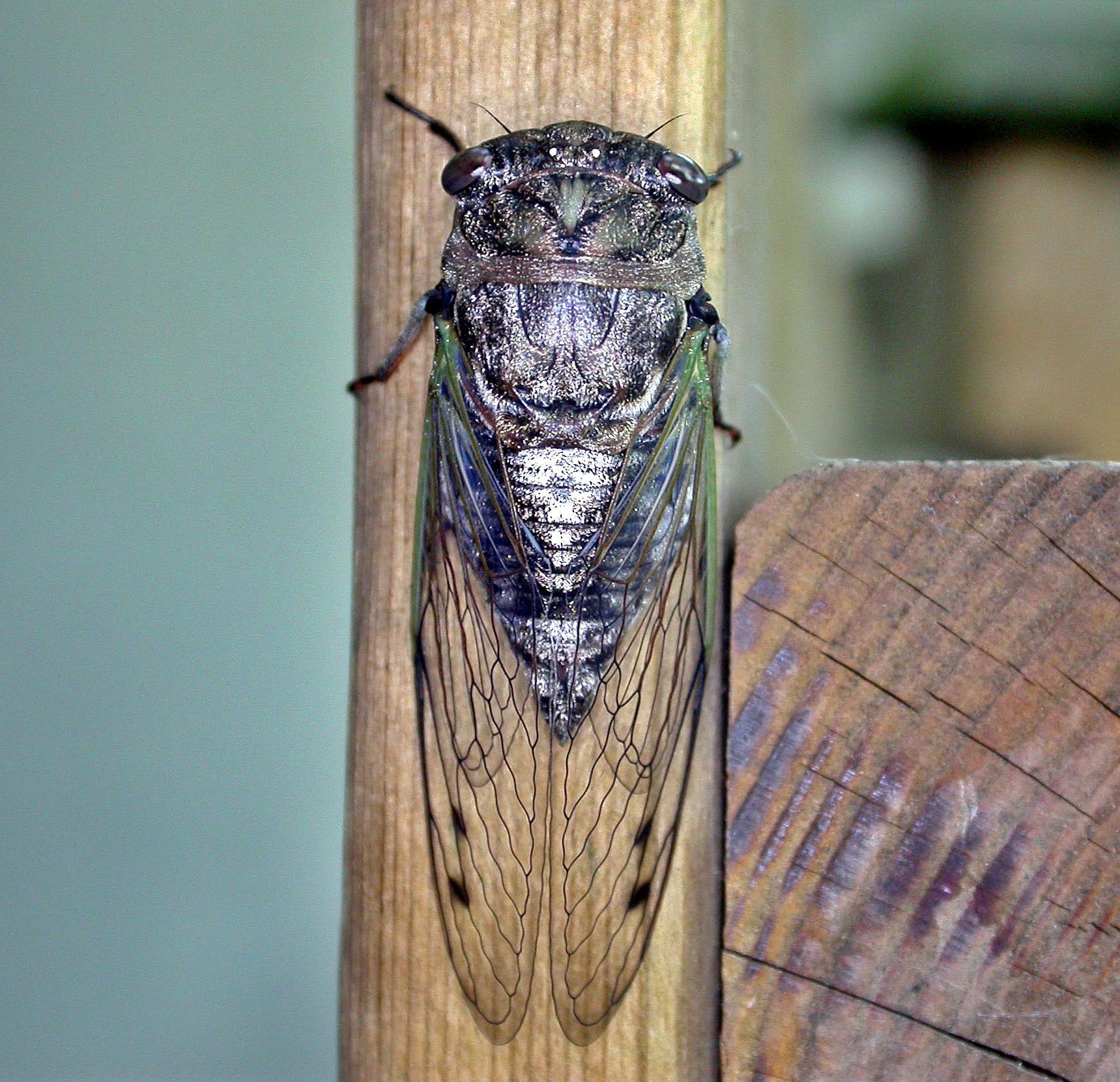 Cicada. Photo: Bob Yukich