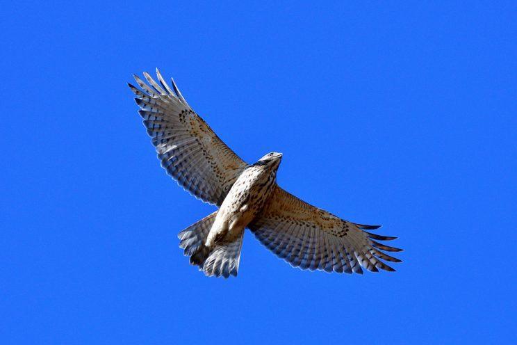 Red-shouldered Hawk. Photo: JM