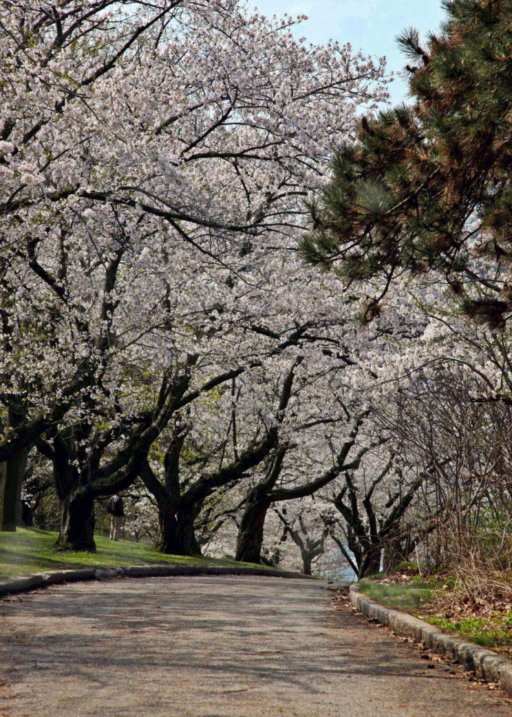 Sakura Cherry Trees. Photo: Linda Read