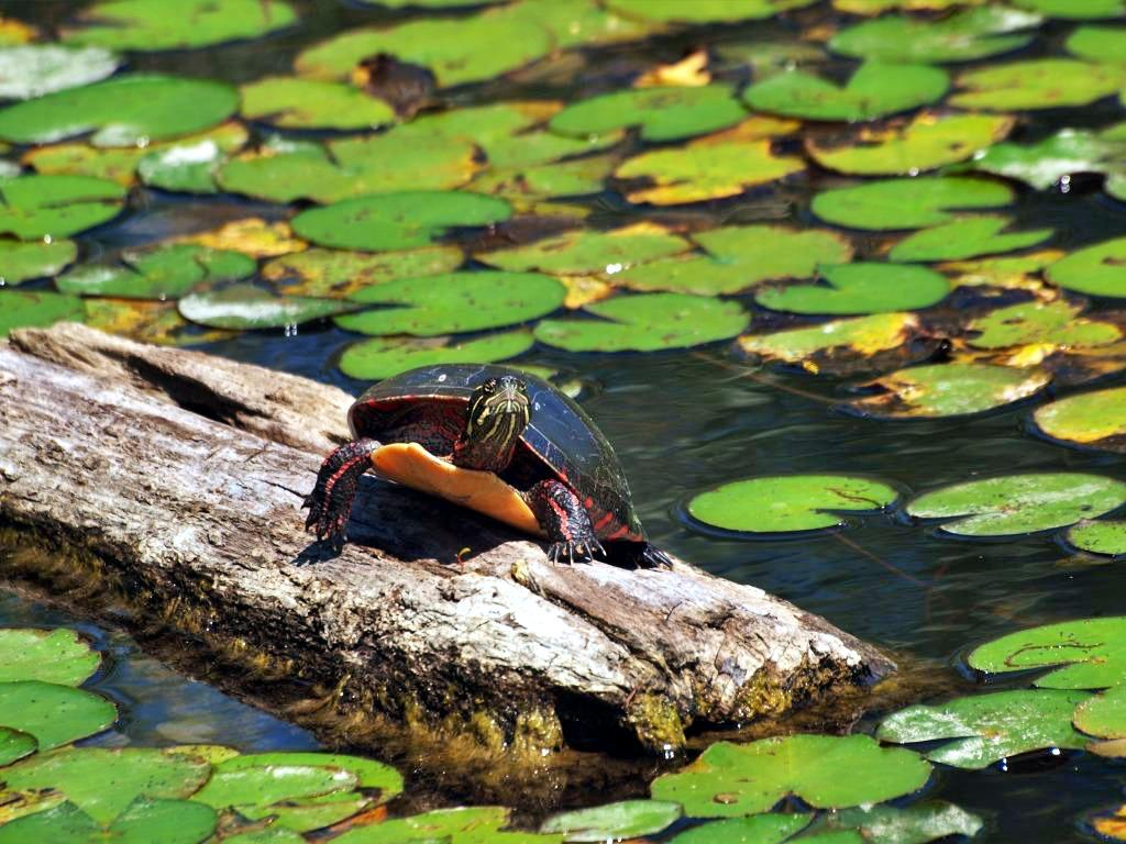 Midland Painted Turtle. Photo: Colin Marcano