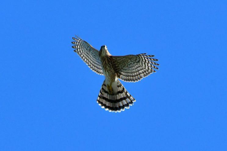 Cooper's Hawk. Photo: JM