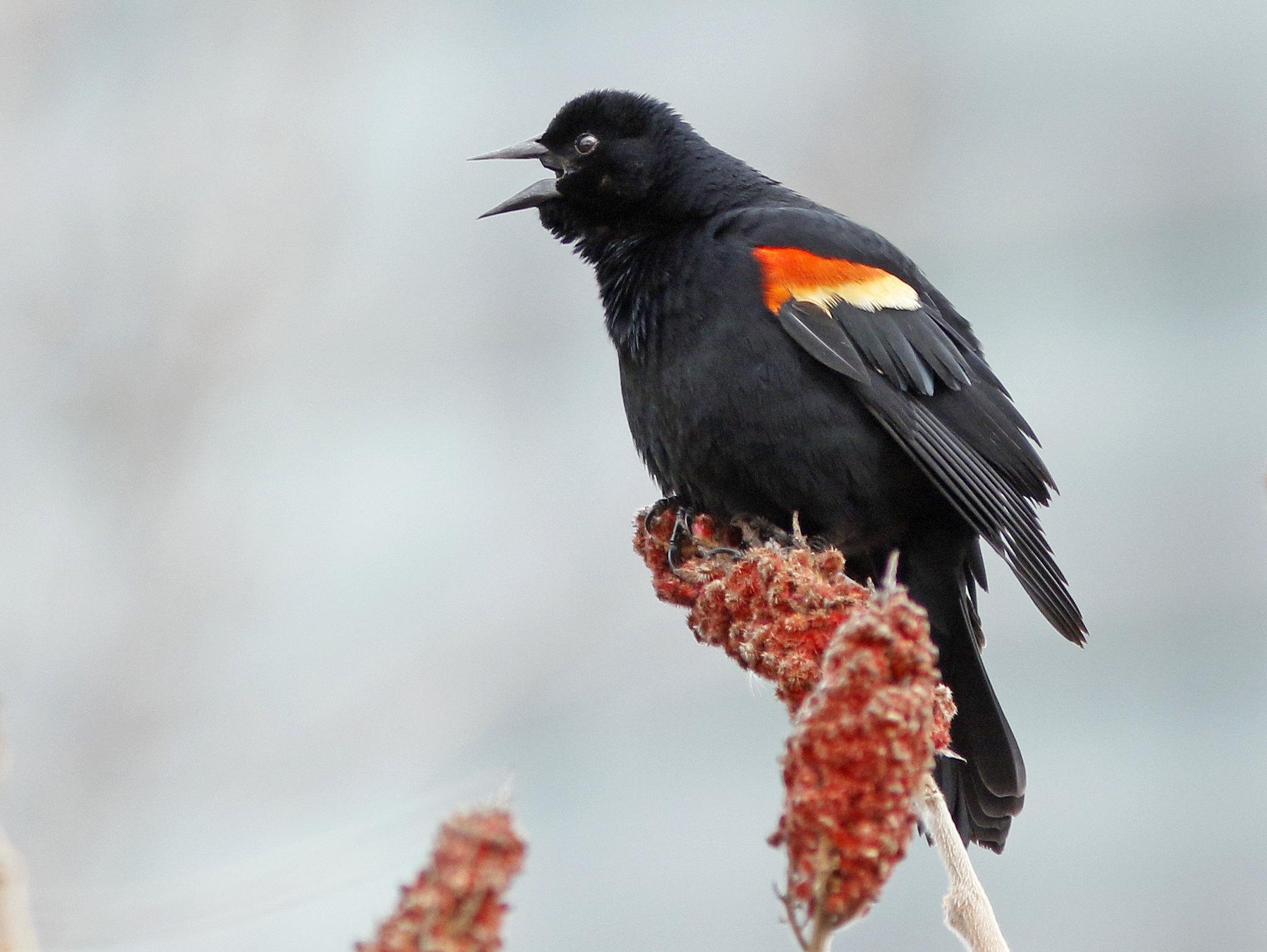 Red-winged Blackbird male. Photo: David Beadle