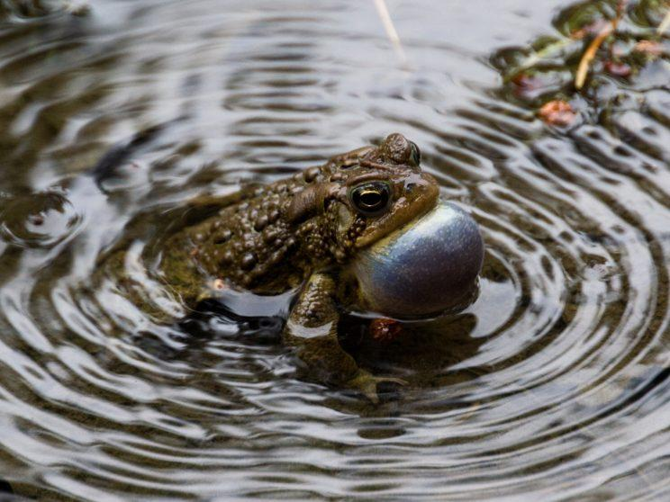American Toad vocalizing. Photo: Tony Pus