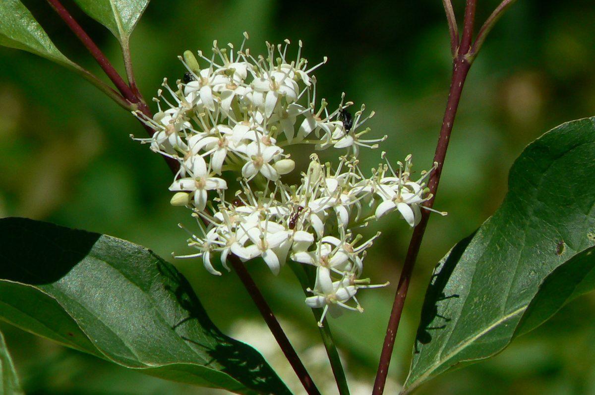 Dogwood flowers. Photo: Karen Yukich