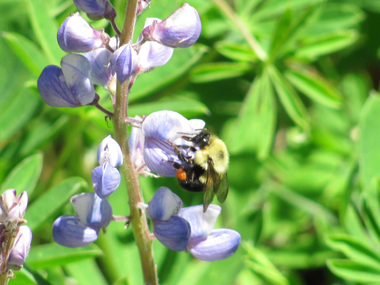 Bee on Lupine. Photo: Sharon Love