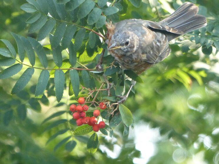 Robin and Mountain Ash berries